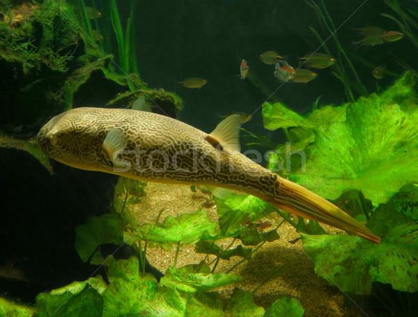 Blowfish Stock photo © prill