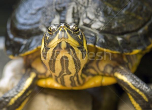 Portret słodkowodnych żółwia charakter życia zwierząt Zdjęcia stock © prill