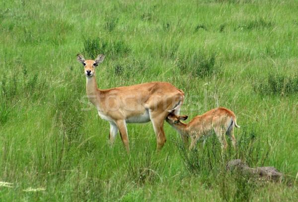 Uganda Kobs in green grassland Stock photo © prill