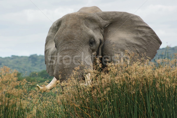 Stock photo: Elephant in high grass