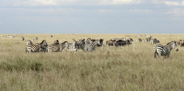 Serengeti állatok magas fű panoráma égbolt Stock fotó © prill