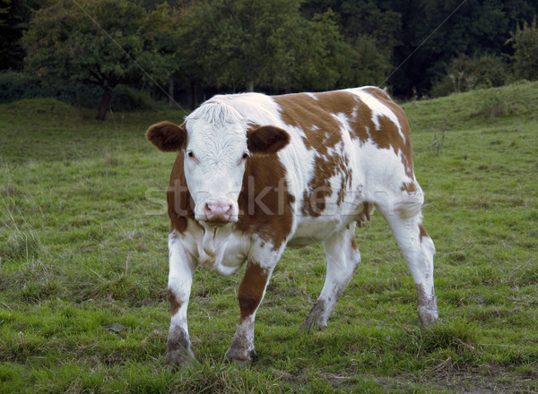 brown and white pied cow on feedlot Stock photo © prill