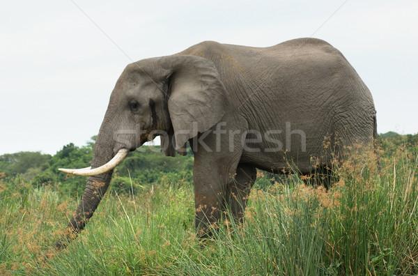 Elephant in Africa sideways Stock photo © prill
