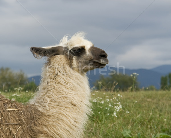 lama in cloudy ambiance Stock photo © prill
