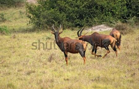 Uganda sabana paisaje África hierba naturaleza Foto stock © prill