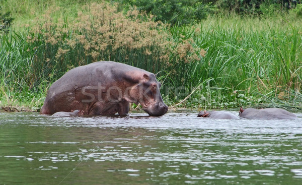 some Hippos waterside  in Africa Stock photo © prill