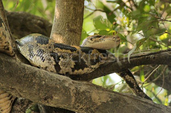 Indian python serpent arbre forêt ensoleillée Photo stock © prill