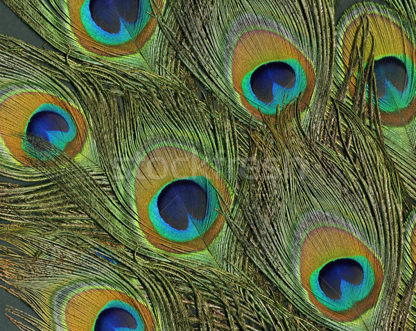 peacock feathers Stock photo © prill