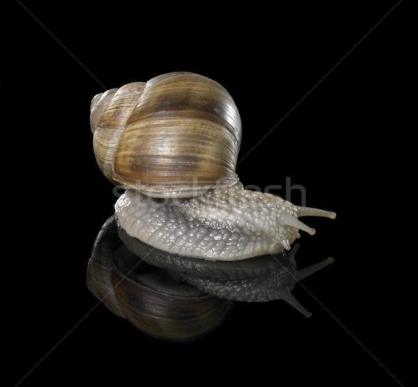 Winorośl ślimak czarny studio fotografii Zdjęcia stock © prill