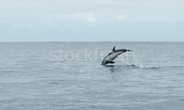 jumping dolphin Stock photo © prill