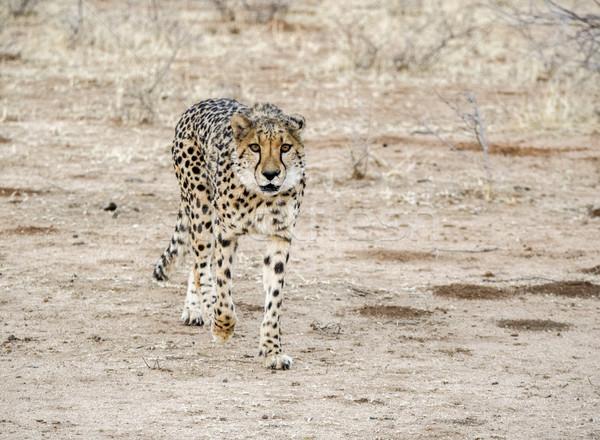 гепард Намибия саванна декораций Африка пейзаж Сток-фото © prill