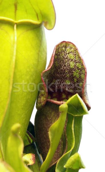 Carnívoro planta pormenor branco de volta folha Foto stock © prill