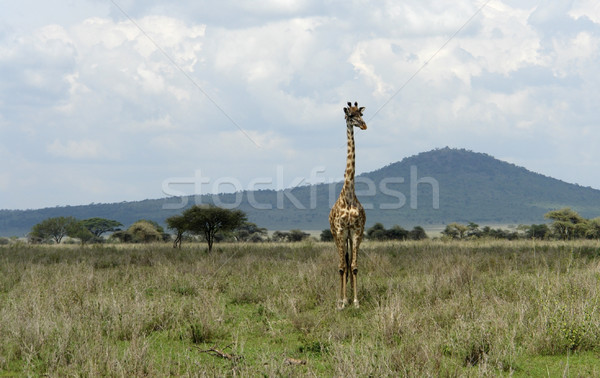 frontal Giraffe in the savannah Stock photo © prill