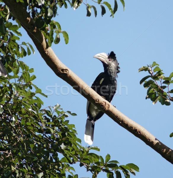 Silvery-cheeked Hornbill in Uganda Stock photo © prill