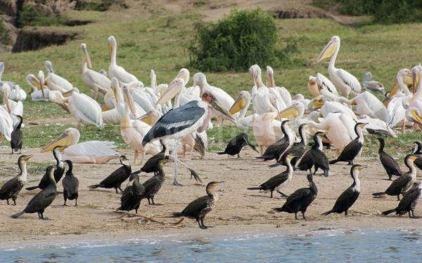 Uccelli regina parco Uganda africa Foto d'archivio © prill