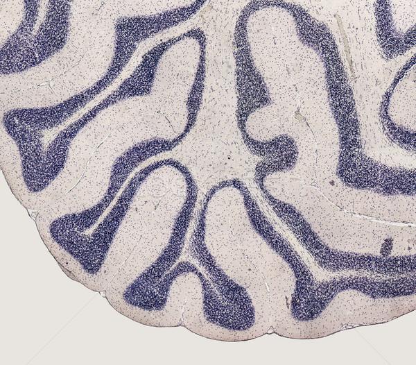 Microscópico cérebro pormenor rato animal Foto stock © prill