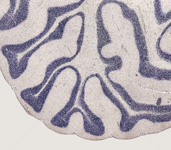 microscopic brain detail Stock photo © prill