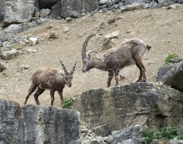 Alpine Ibex on rock formation Stock photo © prill