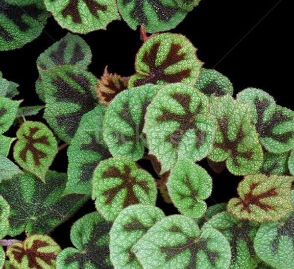 bicolored leaves in black back Stock photo © prill