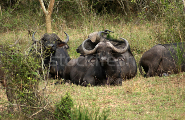 African Buffalos resting on the ground Stock photo © prill