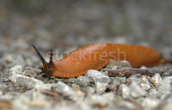 creeping orange slug Stock photo © prill