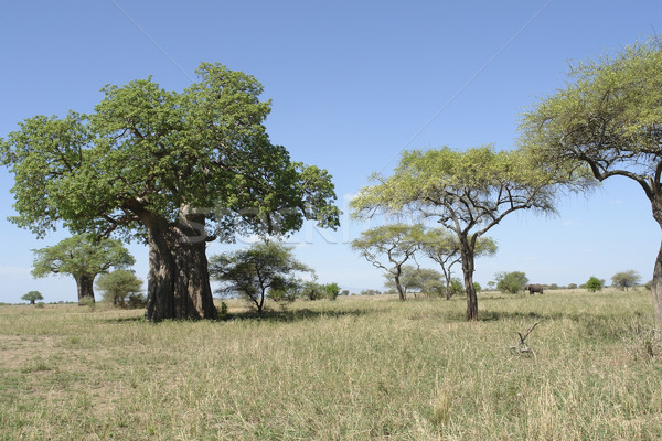 scenery with Baobab tree in Africa Stock photo © prill