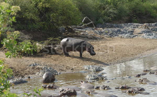 Hippos waterside Stock photo © prill