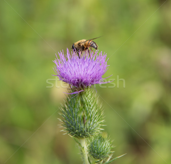 Hoverfly on thistle flower Stock photo © prill