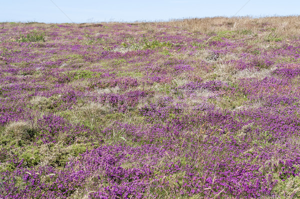 colorful heath vegetation Stock photo © prill