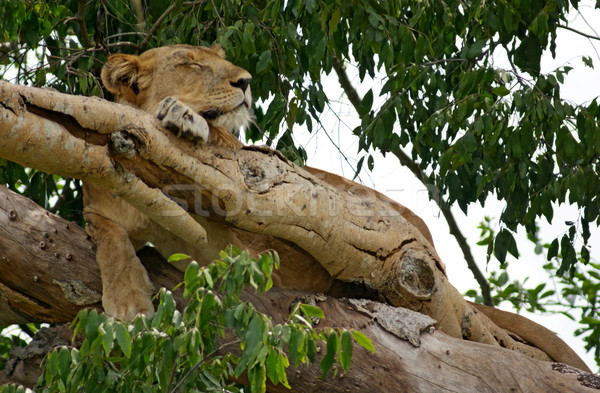 Lion arbre Ouganda Afrique forêt Photo stock © prill