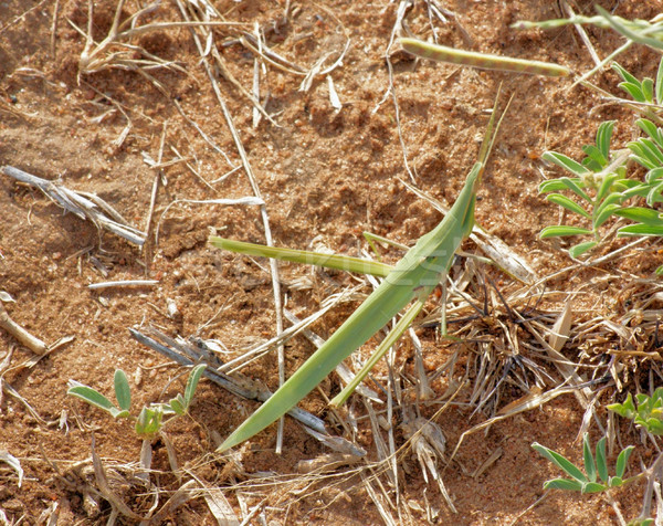 grasshopper in Africa Stock photo © prill