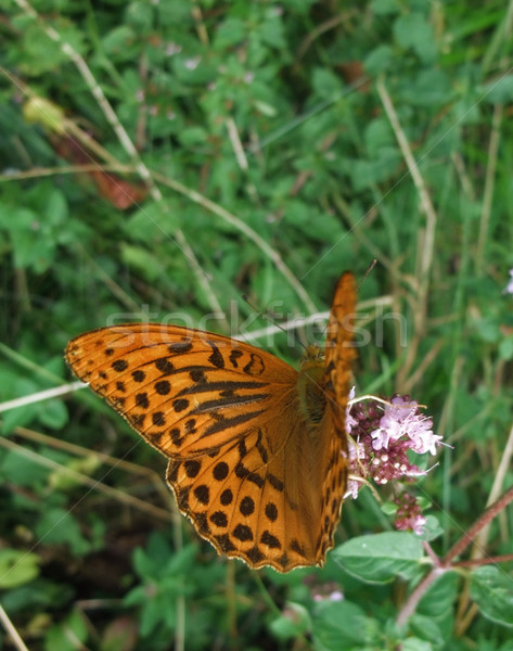 Argynnis paphia butterfly in natural back Stock photo © prill