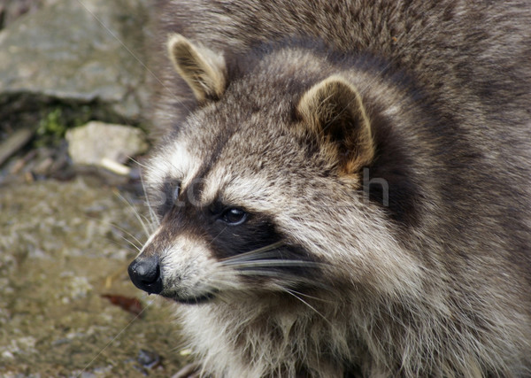 Raccoon and water Stock photo © prill