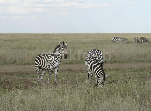 Zebras in the savannah Stock photo © prill