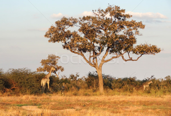 giraffes in Botswana Stock photo © prill