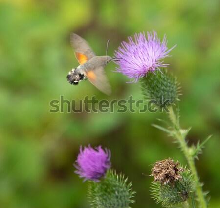Sinekkuşu kelebek uçan etrafında yaz yeme Stok fotoğraf © prill