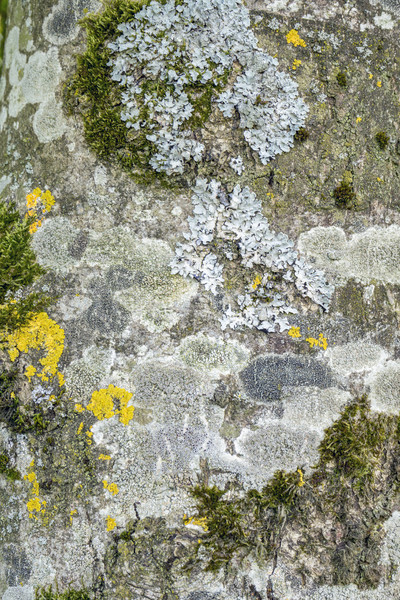 moss and lichen on tree bark Stock photo © prill