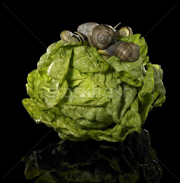 fresh lettuce and snails Stock photo © prill