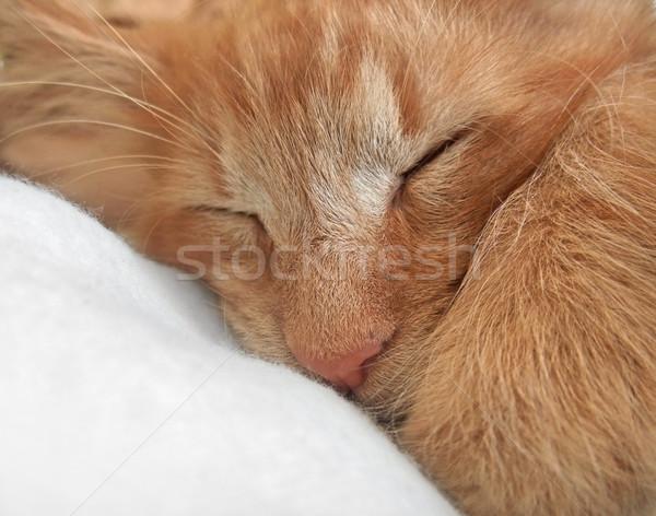 sleeping cat portrait Stock photo © prill