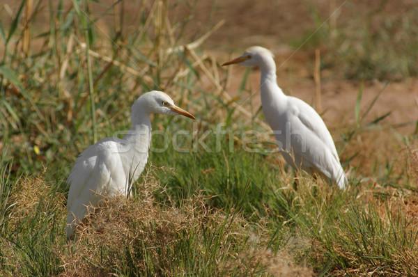 Bovins deux ensoleillée herbeux nature Photo stock © prill