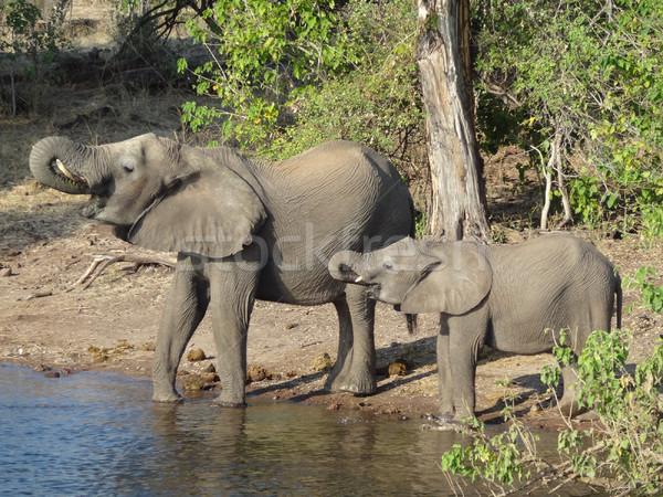 Słonie Botswana dekoracje Afryki wody rodziny Zdjęcia stock © prill