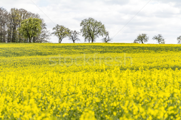 Domaine printemps temps jaune floraison rural Photo stock © prill