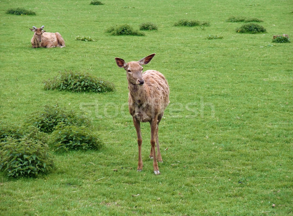 Red Deers in green grassland Stock photo © prill