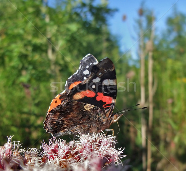 Red Admiral in sunny ambiance Stock photo © prill