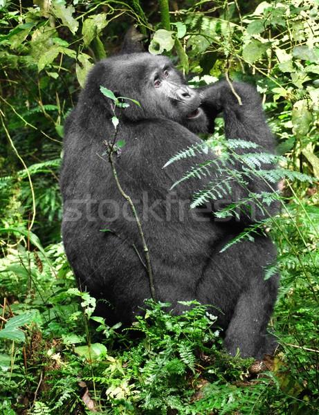 Hegy gorilla zöld növényzet felhő erdő Stock fotó © prill