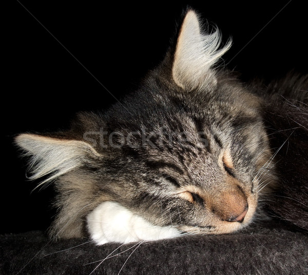 Slapen kat portret noors bos donkere Stockfoto © prill
