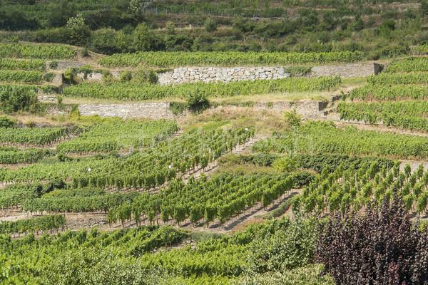 vineyards around Kaysersberg Stock photo © prill