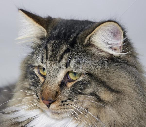 ノルウェーの 森林 猫 肖像 動物 喜び ストックフォト © prill