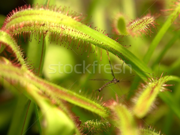 sundew plant detail Stock photo © prill