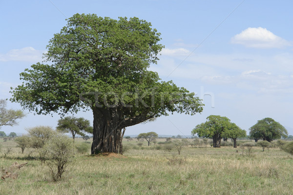 Baobab tree in Africa Stock photo © prill
